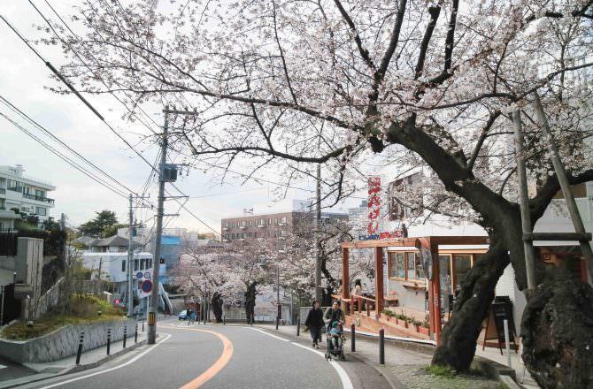 橫濱賞櫻秘境 從制高點賞櫻 櫻花海洋塔一同入鏡